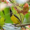 nectar  OLIVE BACKED SUNBIRD <i>Nectarinia jugularis</i> Valencia, Negros Oriental, Philippines