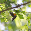 """A spider.  OLIVE BACKED SUNBIRD, male <i>Nectarinia jugularis aurora</i> Sabang, Palawan, Philippines  More pictures in the <a href=""""http://tonjiandsylviasbirdlist.smugmug.com/gallery/7303763_Hme8U/1/568004151_Mwc8T"""">Olive Backed Sunbird gallery<a/>"""