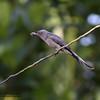 "A fly.  ASHY DRONGO <i>Dicrurus leucophaeus</i> Sabang, Palawan  More pictures of this bird in the <a href=""http://tonjiandsylviasbirdlist.smugmug.com/gallery/8590123_XNVzq/1/567921744_9KLhZ"">Ashy Drongo gallery</a>"