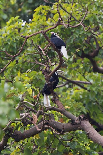 "Big bird eating a small fruit.  PALAWAN HORNBILL <i>Anthracoceros marchei</i> Sabang, Palawan  more pictures in the <a href=""http://www.tonjiandsylviasbirdlist.com/BirdsPhilippines/Hornbills/Palawan-Hornbill/25394424_Gmcbcw"">Palawan Hornbill gallery</a>"