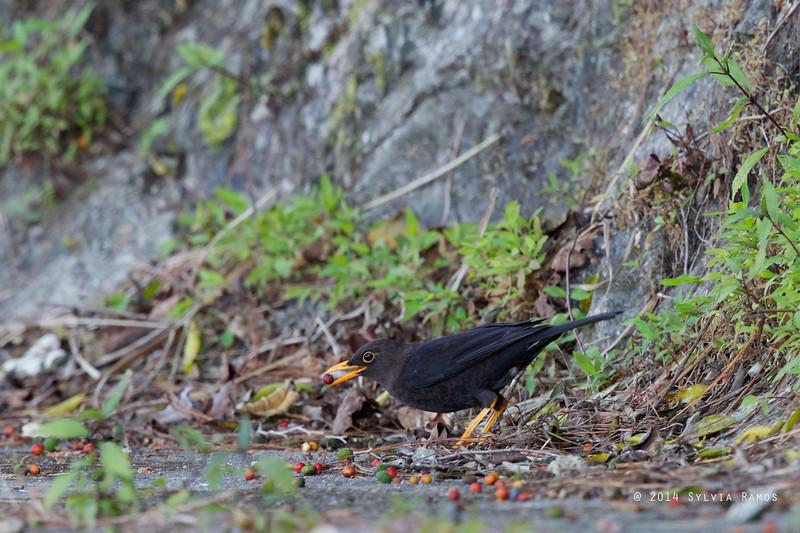 Berries.  ISLAND THRUSH  <i>Turdus poliocephalus</i>  Bessang Pass, Ilocos Sur