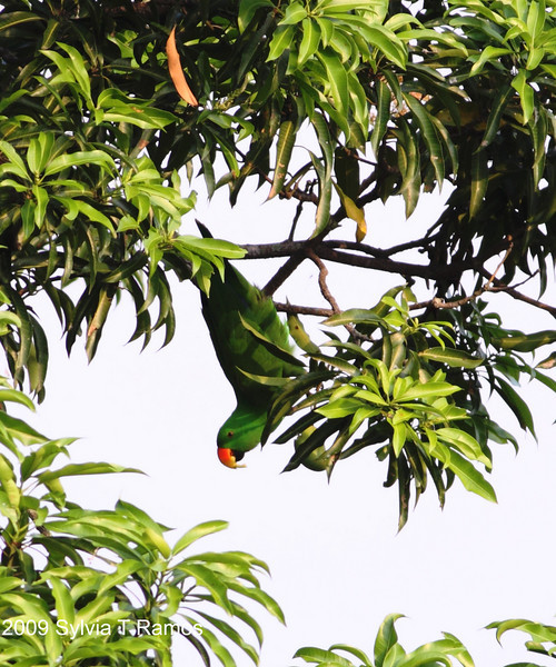 """A green mango.  Eclectus Parrot  <i>Eclectus roratus</i>  Alabang, Muntinlupa  More pictures of this bird in the <a href=""""http://tonjiandsylviasbirdlist.smugmug.com/gallery/7909642_xSfpM/1/515708765_oek6s"""">Eclectus Parrot gallery<a/>"""