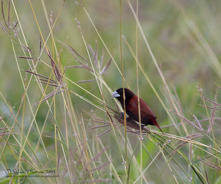 "A grass seed.  CHESTNUT MUNIA <i>Lonchura malacca</i> Manila Bay, Philippines  More pictures of this bird in the <a href=""http://tonjiandsylviasbirdlist.smugmug.com/gallery/7303289_Tfw43/1/558004024_6uRnw"">Chestnut Munia gallery</a>"