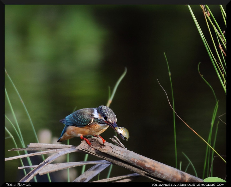 """Fish.  COMMON KINGFISHER <i>Alcedo atthis</i> San Juan, Batangas, Philippines  more pictures in the <a href=""""http://tonjiandsylviasbirdlist.smugmug.com/The-Bird-List/Kingfishers/Common-Kingfisher/7346748_ujyou/1/682908967_7Vcy2"""">Common Kingfisher gallery</a>"""