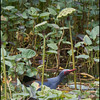 "A lotus flower!  PURPLE SWAMPHEN <i>Porphyrio porphyrio</i> Candaba, Pampanga, Philippines  see the <a href=""http://tonjiandsylviasbirdlist.smugmug.com/List/Crakes-Rails-and-Waterhens/Purple-Swamphen/7383244_gQnXF"">Purple Swamphen gallery</a> for more pictures"