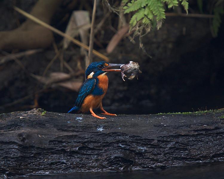 "Small freshwater crab.  INDIGO BANDED KINGFISHER <i>Alcedo cyanopecta</i> Villa Escudero, Quezon, Philippines  more pictures in the <a href=""http://tonjiandsylviasbirdlist.smugmug.com/The-Bird-List/Kingfishers/Indigo-Banded-Kingfisher/7346921_gKy2B/1/472884831_qGjyN"">Indigo Banded Kingfisher gallery</a>"