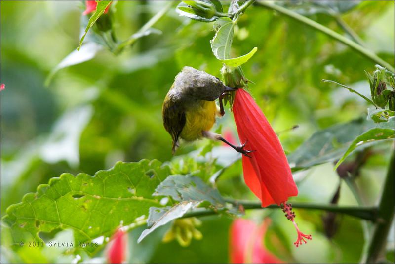 nectar from a gumamela that's still closed  FLAMING SUNBIRD, immature <i>Aethopyga flagrans</i> Valencia, Negros Oriental, Philippines