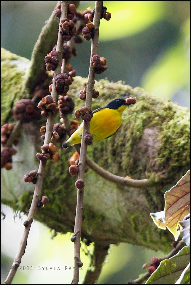 "Fruit!  ORANGE-BELLIED FLOWERPECKER <i>Dicaeum trigonostigma</i> Mt. Makiling, Laguna, Philippines  More pictures in the <a href=""http://tonjiandsylviasbirdlist.smugmug.com/List/sunbfp/Orange-Bellied-Flowerpecker/8088760_Sq8Pn"">Orange-bellied Flowerpecker gallery<a/>"