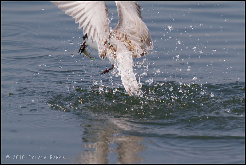 """Fish.  This would have been a really great picture if only the wings didn't get cut off!  WHISKERED TERN <i>Chilidonias hybridus</i> Coastal Road Lagoon, Manila Bay, Philippines  more pictures in the <a href=""""http://tonjiandsylviasbirdlist.smugmug.com/List/gt/Whiskered-Tern/7286474_9QDyc"""">Whiskered Tern gallery</a>"""