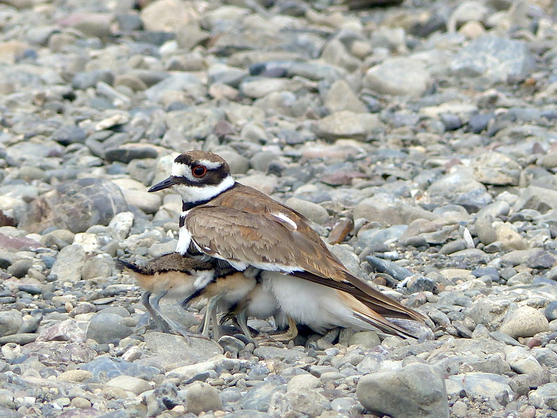Killdeer with four babies