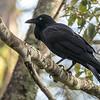 AustralianRaven (Corvus coronoides)