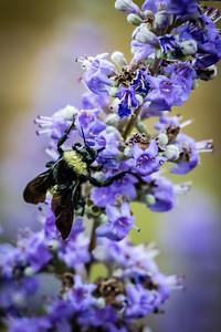 Bumblebee on a Flowe