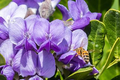 Honey Bee on the Mountain Laurel