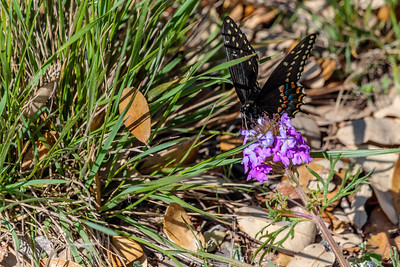 Black Swallowtail on a Verbena