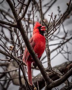 Cardinal Song