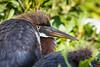 Tricolor Heron Fledgling