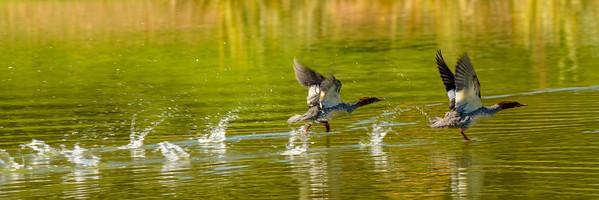 Skipping Ducks