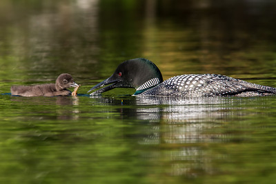 Hungry Loon Chick