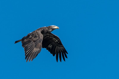 Juvenile Eagle flying