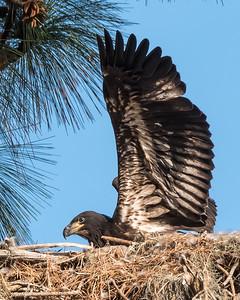 Juvenile Eagle in nest