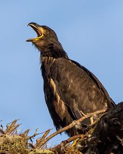 Juvenile Eagle Calling