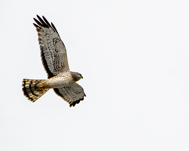 Northern Harrier Hawk - NH