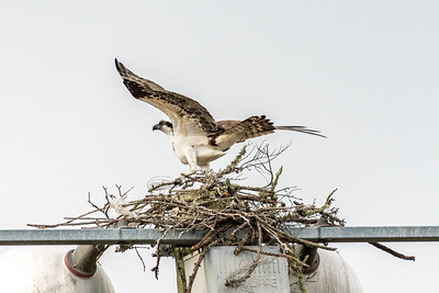 Ospey Series - on his nest after adding a twig
