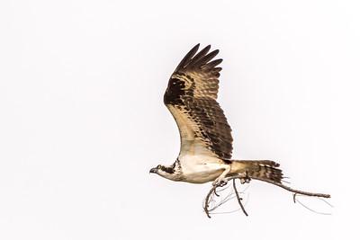 Osprey series - Osprey Building His Nest