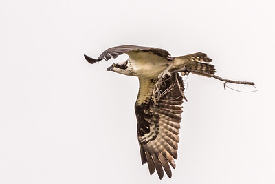 Osprey Series - Osprey Headed to It's Nest