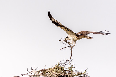 Osprey Series - Osprey Buiding His Nest
