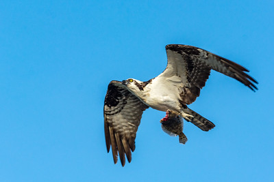 Male Osprey with Headless Fish