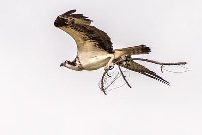 Osprey Series - Osprey Flying with Branch
