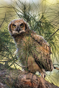 Great Horned Owl - Baby - first time out of the nest