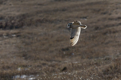 Short Eared Owl - Mass.