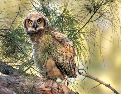 Great Horned Owl - Baby - first time out of the nest II