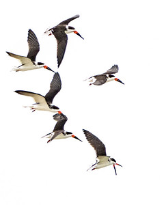 Black Skimmers floating in the sky