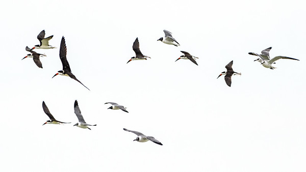 Black Skimmers and Gulls heading out