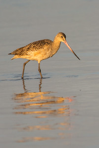 Marbeled Godwit in Early Morning Light