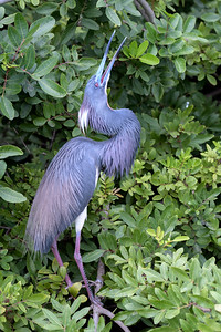 Tri Colored Heron - Mating Behavoir