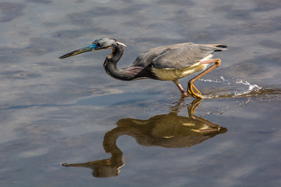 Tri Colored Heron Fishing  Reflection