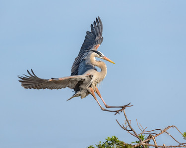 Landing - Great Blue Heron