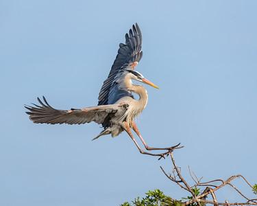 Landing - Great Blue Heron