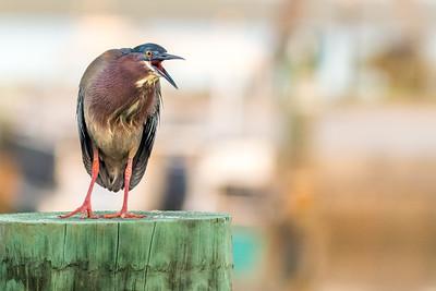 Green Heron Squawking
