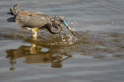 Tri Colored Heron Dunking