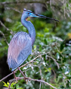 Tri Colored Heron - breeding plumage with stick