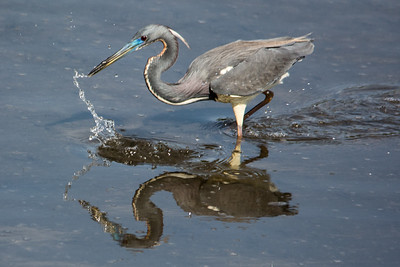 Tri Colored Heron Fishing II