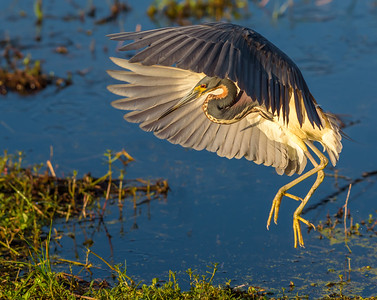 Tri Color Heron Landing