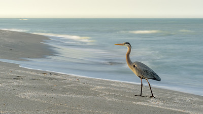 Great Blue Heron Long Exposure