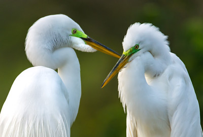 Mr. & Mrs.  Egret