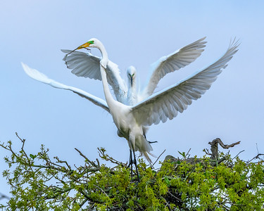 Great Egret - That's the stick you brought?